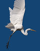 Egrets and Herons : Some photos of Egrets and Blue Herons, all taken at or near Vasona Park in Los Gatos, California.