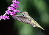Hummingbirds :